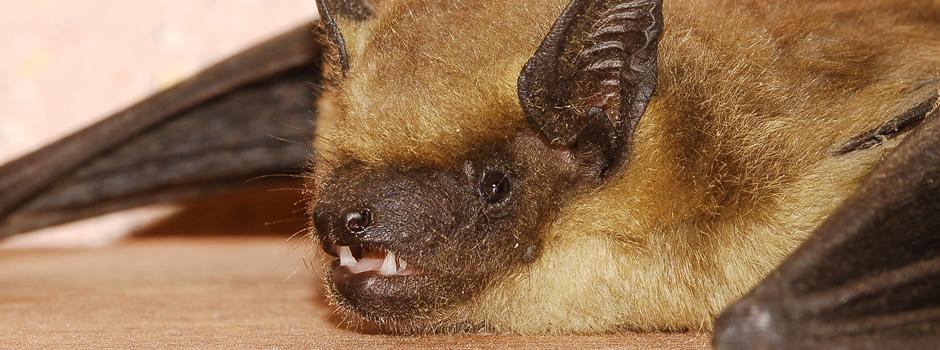 Shelbyville Bat Control